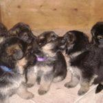 Group-Of-Cute-German-Shepherd-Puppies